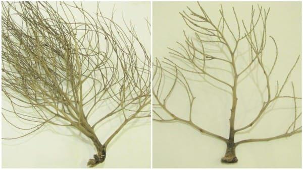 Diy Sea Fan From Palm Flower Stalk Do-It-Yourself Ideas Recycled Art