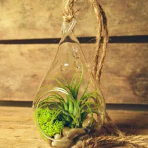 Hinterland-Trading-Air-Plant-Tillandsia-Bromeliads-Kit-Teardrop-Terrarium-with-Pebbles-and-Moss-Great-Little-Houseplant-0