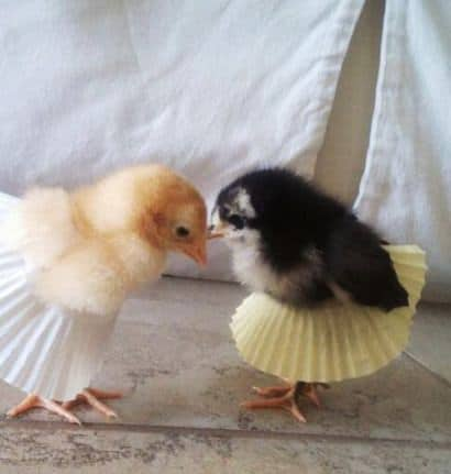 Little chicks wearing muffin wrappers as tutus!