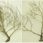 Diy Sea Fan From Palm Flower Stalk