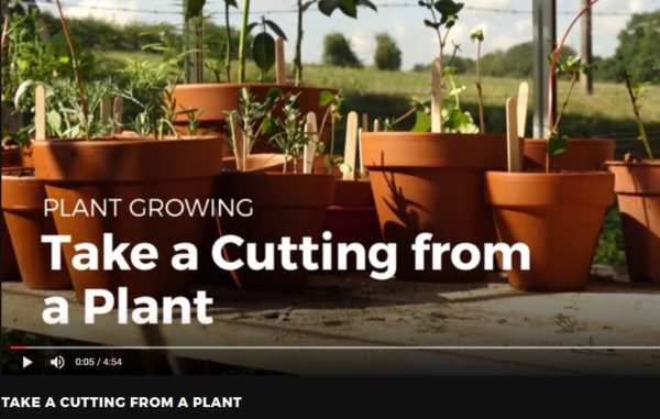 Taking Cuttings From Plants - here's the video you'll be looking for!